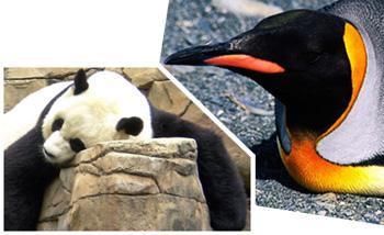 Ingen grund til at holde øje med pingviner og pandaer